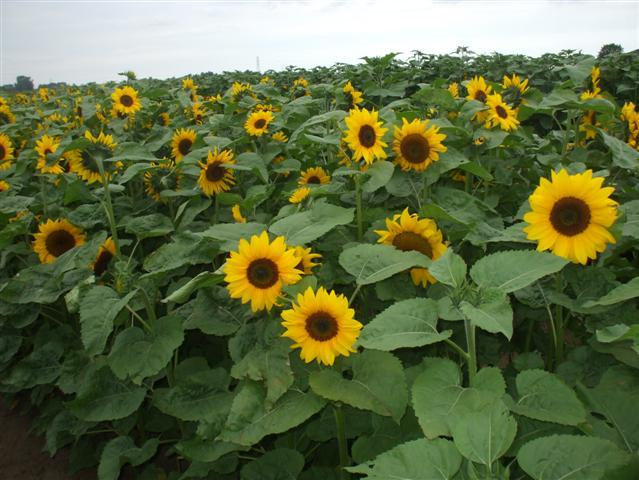 Outdoor sunflowers from 2011 trials