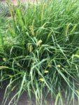 Ornamental Grasses 3 (2016)